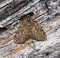 (70.081) (BF1768) Grey Pine Carpet (Thera obeliscata) - Flickr - Bennyboymothman.jpg