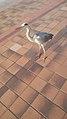 Ōhori park Grey Heron.jpg