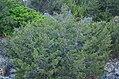 Χλωρίδα Σίφνου 3.jpg