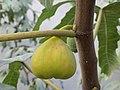 Інжир або смоківниця звичайна ( лат. Ficus carica) - субтропічна листопадна рослина роду Фікус (Ficus).jpg