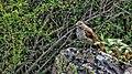 Алтайская птичка отдыхает.jpg