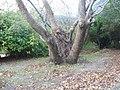Большое дерево у берегов Эгейского моря-01.JPG