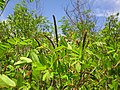 Гази Баба - Растителен свет (49).JPG