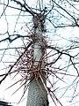 Дерево-колючка 01.JPG
