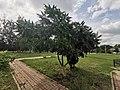 Дерево в Уразово.jpg