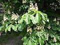 Каштани в ботанічному саду імені Миколи Гришка.jpg