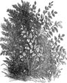 Миндальное дерево (БЭАН).png