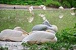 Пелікан рожевий у Київському зоопарку. Фото 3.jpg