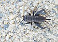 Полевой сверчок - Gryllus campestris - European field cricket - Полски щурец - Feldgrille (25300464569).jpg