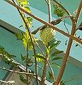 Сахарное яблоко или Аннона чешуйчатая (лат. Annona squamosa).jpg