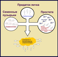 Семеногелин.png