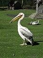 Тернопіль - Гідропарк «Топільче» - Зоокуток - пелікан Філя - 11049374.jpg