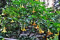 ბრუგმანსია Brugmansia Engelstrompetenbaum.jpg