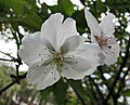 冬櫻 Cerasus x parvifolia 'Fuyu-zakura' -上海辰山植物園 Shanghai Chenshan Botanical Garden- (17058167310).jpg