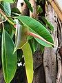 印度橡膠榕 Ficus elastica 20201007182924 04.jpg