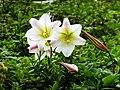 台灣百合 Lilium formosanum - panoramio.jpg