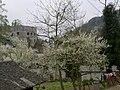 向阳李花 - panoramio.jpg