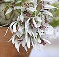 土豆石斛 Dendrobium peguanum (泰國清邁花展 Royal Flora Ratchaphruek, Thailand).jpg