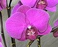 太空蝴蝶蘭 Phalaenopsis amabilis -香港北區花鳥蟲魚展 North District Flower Show, Hong Kong- (9200908978).jpg