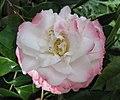 山茶花 Camellia japonica 'Nuccio's Pearl' -墨爾本植物園 Royal Botanic Gardens, Melbourne- (10754812183).jpg