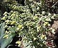 常綠大戟 Euphorbia characias 'Silver Swan' -澳洲 Heronswood Gardens, Australia- (10799137254).jpg