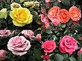 玫瑰 Rosa Rainbow's End -香港花展 Hong Kong Flower Show- (32973229884).jpg