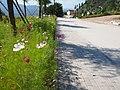 盛开的波斯菊 - Garden Cosmos in Bloom - 2012.08 - panoramio.jpg
