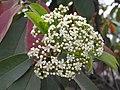 石楠(千年紅) Photinia serrulata -洛陽西苑公園 Luoyang Botanical Garden, China- (9237372611).jpg