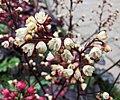 礬根 Heuchera micrantha -上海國際花展 Shanghai International Flower Show- (16730768734).jpg