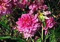 芍藥 Chinese Herbaceous Peony - panoramio.jpg