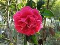 茶花 Camellia - panoramio (1).jpg