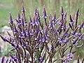 藍花馬鞭草 Verbena hastata -英格蘭 Wisley Gardens, England- (15050548086).jpg