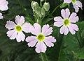 藏報春 Primula sinensis -昆明金殿植物園 Kunming YuanLin Botanic Gardens, China- (9198168549).jpg