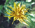 黑婆羅門參 Scorzonera hispanica -華沙大學植物園 Warsaw University Botanic Garden- (35713660563).jpg