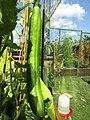 -2019-07-29 Cucumber, Trimingham.JPG