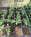 -2020-06-04 African Marigold plants (Tagetes erecta), Trimingham.JPG