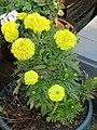 -2020-09-09 Marigold (Tagetes) in bloom, Trimingham.JPG