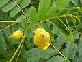 01338jfManaol Batitang Rice Flowers Zaragoza, Nueva Ecijafvf 07.JPG
