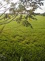 03790jfPaddy fields grasslands village Baliuag Bulacan Candaba Pampanga Bridge Roadfvf 06.JPG