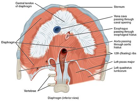 Human diaphragm, frontal view from below, showing openings 1113 The Diaphragm.jpg