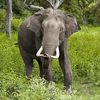 elefanter wiki