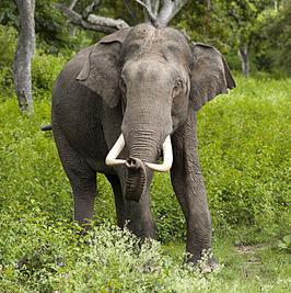 olifant wikipedia