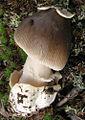 2009-11-09 Amanita submembranacea (Bon) Gröger 64032 crop.jpg
