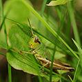 2011-07-31 15-20-05-Acrididae.jpg