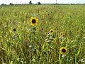 20110802Sonnenblumen Kurpfalzhof3.jpg
