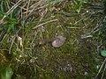 2013-05-06 Entoloma sericeoides (J.E. Lange) Noordel 326507.jpg