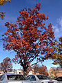 2014-11-02 12 42 11 Red Oak during autumn at The College of New Jersey in Ewing, New Jersey.JPG