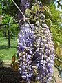 20140421Wisteria floribunda2.jpg