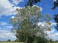 20140605Populus alba.jpg