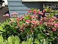 2015-05-17 14 29 57 Rosebud Azalea in bloom on Terrace Boulevard in Ewing, New Jersey.jpg